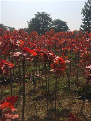 红叶杨苗木